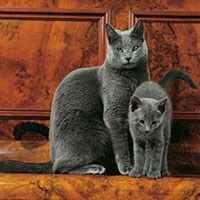 Whiskas® Russian Blue Cat Picture
