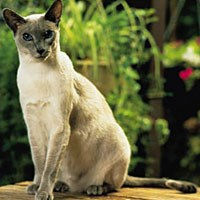 Whiskas® Siamese Cat Picture