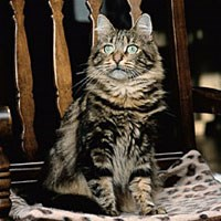 Whiskas® Siberian Forest Cat Picture