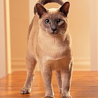 Whiskas® Tonkinese Cat Picture