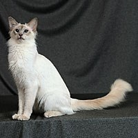 Whiskas® Balinese Cat Picture
