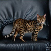 Whiskas® Bengal Cat Picture