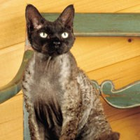 Whiskas® Devon Rex Cat Picture