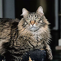 Whiskas® Maine Coon Cat Picture